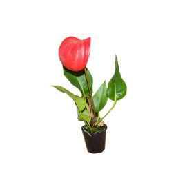 Live Plant Anthurium (5.5cm pot)