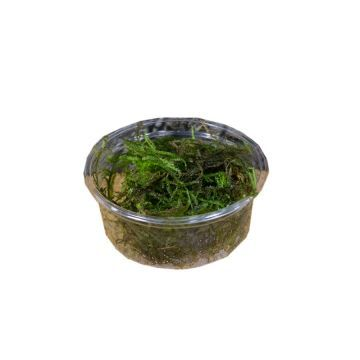 Live Plant Christmas Moss (80cc Cup)