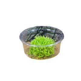 Live Plant Utricularia (80cc cup)