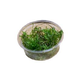 Live Plant Spikey Moss (80cc Cup)