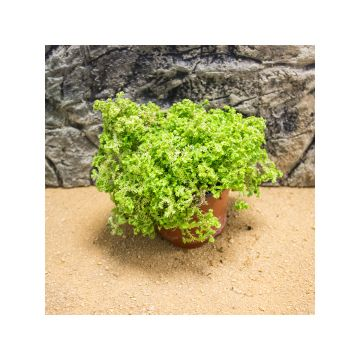 Live Plant Selaginella (8.5cm Pot)