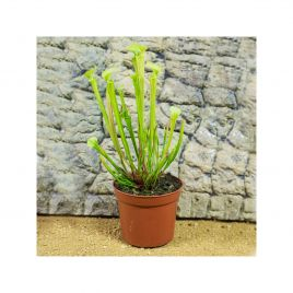 Trumpet Pitcher Plant - Sarracenia x Barba - 8.5cm Pot