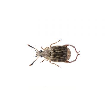 Bean Weevil - Culture