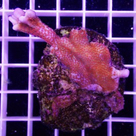 Forest Fire Montipora Frag MD
