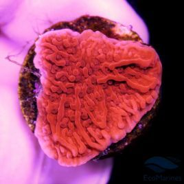 WYSIWYG 113 Montipora Red Plate