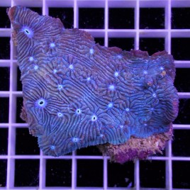 Blue Eye Lithophyllia Frag