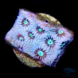 Icy War Coral Frag