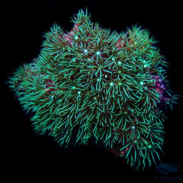 UK Grown Solid Green Star Polyp Colony SM