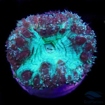 Green Glitter Blastomussa wellsi Polyp