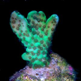 Green Montipora Appleberry Frag