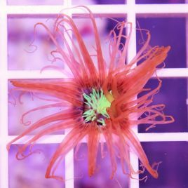 Red with Green Centre Tube Anemone
