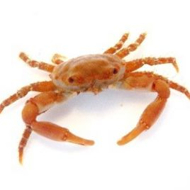 Ruby Red Emerald Crab