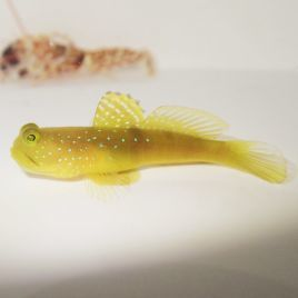 Yellow Watchman Goby and Bellus Pistol Shrimp Pair