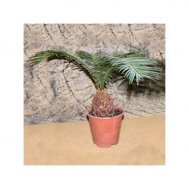 Sago Palm - Cycas sp. - 12cm Pot
