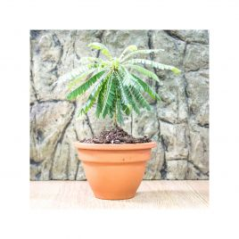 Little Tree Plant - Biophytum sensitivum - 5.5cm Pot