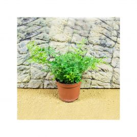 Live Plant Fern Large (12cm Pot)