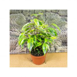Weeping Fig - Ficus benjami 'Variegated'