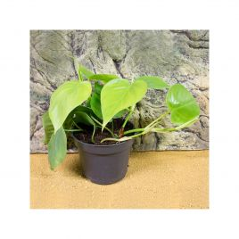 Heartleaf Philodendron - Philodendron scandens - 6cm Pot