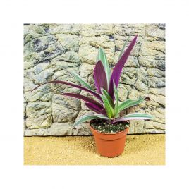 Moses in the Cradle - Rhoeo discolor - 10cm Pot
