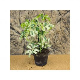 Dwarf Umbrella Tree - Schefflera arboricola - 8cm Pot