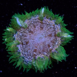 SALE Rock Flower Anemone WYSIWYG 12
