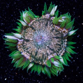 SALE Rock Flower Anemone WYSIWYG 3