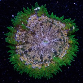 SALE Rock Flower Anemone WYSIWYG 10