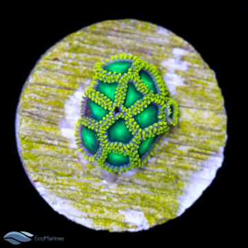 Radioactive Dragons Eye Zoa Frag 1 Polyp