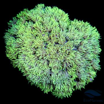 WYSIWYG 181 Yellow Green Goniopora