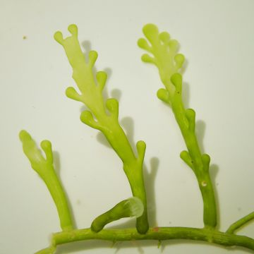 UK Grown Caulerpa racemosa cylindracea