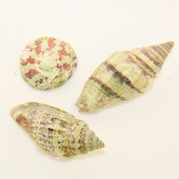 Replacement Hermit Crab Shell