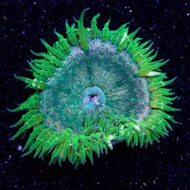 SALE Rock Flower Anemone WYSIWYG 2