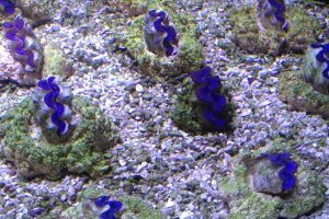 Cultured Ultra Blue Maxima Clams
