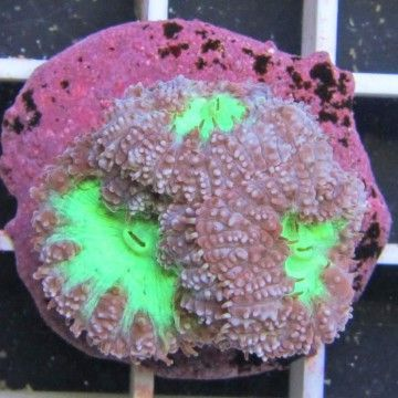 Hard Coral Frags